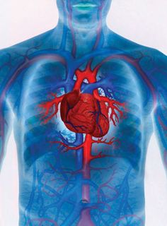 The Network  The heart's vascular system measures 60.000 miles in length, being able to circle planet Earth twice.