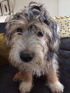 Sporting Lucas terrier