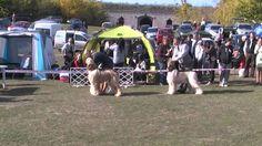 Nemzetközi Kutya kiállítás 2013.10.20.Komárom Monostori erőd. National Dog Show  Afgán Agár