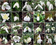 Variabilita sněženek (Galanthus) - druhy a kultivary (Species and cultivars of snowdrops)