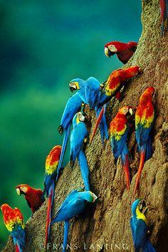Papağanlar, Egzotik Güzel Kuş, Egzotik Renk Renk Harika Papağanlar, Papağan Resimleri, Renkli Harika PAPAĞAN, Hayvanlar Alemi, the animal kingdom