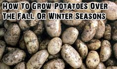 winter garden How To Grow Potatoes Over The Fall Or Winter Seasons. This is also why I always plant garlic in the fall- Growing Veggies, Growing Plants, Winter Vegetables, Fruits And Veggies, Root Vegetables, Farm Gardens, Outdoor Gardens, Organic Gardening, Gardening Tips