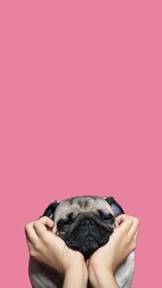 Pug in pink!