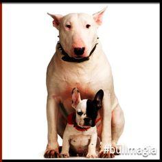 #bullmagia #bullterrier #frenchbulldog