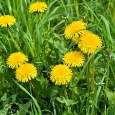 Invasive plants can choke out other plants in your yard and create possible dangerous situations. Here are some common invasive plants. Garden Insects, Garden Plants, Garden Weeds, Herb Garden, House Plants, Weed Science, Taraxacum Officinale, Invasive Plants, Poisonous Plants