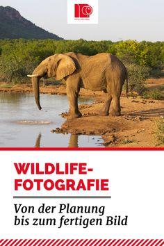 #Wildlife-Fotografie: Von der Planung bis zum fertigen Bild. Tipps und Tricks wie man den Elefant optimal abzulichtet. Viele Ideen für bessere #Fotografie: http://www.fotos-fuers-leben.ch/fotokurs/naturfotografie/wildlife-fotografie/ #Elefant in #Südafrika, der gerade Wasser trinkt.