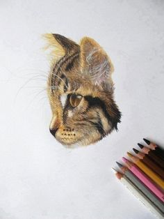 Colored pencil drawing of a cat