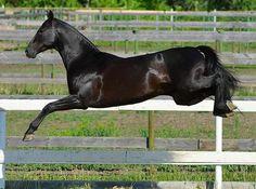 Angel Nemo (Ghulam x Adele), 2010 Kaplan line Akhal Teke stallion