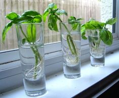 A windowsill herb water garden is beautiful and so handy for the cook of the house. Learn how to successfully grow herbs in water. Indoor Water Garden, Indoor Vegetable Gardening, Container Gardening, Gardening Tips, Indoor Herbs, Como Plantar Cilantro, Como Plantar Salsa, Growing Herbs, Growing Flowers