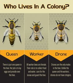 Backyard Bee Keeping: 3 Types of Bees in a Colony - Garden Types Conservation, Bee Facts, Types Of Bees, Bee Hive Plans, Beekeeping For Beginners, Worker Bee, Raising Bees, Bee Boxes, Backyard Beekeeping