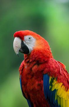 creatures-alive: Scarlet macaw / Ara macao by stoplamek Tropical Birds, Exotic Birds, Bird Costume, African Grey Parrot, Cockatoo, My Animal, Beautiful Birds, Beautiful Creatures, Animal Photography