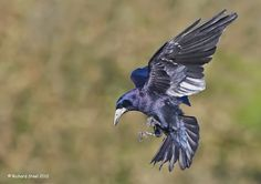 Flying Iridescence by Richard Steel on 500px - A rook in flight showing its true metallic hues in some autumn sunlight