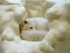 White Fox.....all curled up