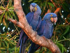 Blue Hyacinth Macaws - Largest of the Macaw family
