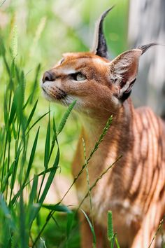 The caracal Joeyline among the grasses. Caracals (Caracal caracal) are medium-si… The caracal Joeyline among the grasses. Caracals (Caracal caracal) are medium-sized wild cats native to Africa, the Middle East, Central Asia, and India. (Tambako the jaguar Caracal Caracal, Serval, Caracal Cat Pet, Baby Caracal, Siamese Cat, Ragdoll Cats, Big Cats, Cats And Kittens, Cute Cats