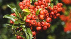 Čerstvé plody chutia trpko, no aj napriek tomu si z nich môžete pripraviť napríklad výborný džem.