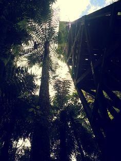 Pureora  Forest  Park.  North Island.  New Zealand