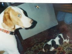 Sam & Sami dec1998 , #braque #st.germain # pointer #puppy #pet #haustier #love #family #member #trauer #regenbogen #rainbow