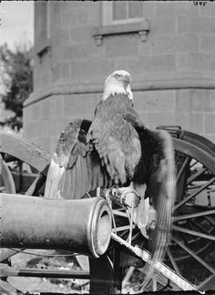 Old Abe – the Screaming War Eagle of the Wisconsin Infantry. Later, his image was adopted as the screaming eagle on the insignia of the U. Army's Airborne Division. History Online, Us History, Strange History, American War, American History, Native American, War Image, America Civil War, Civil War Photos