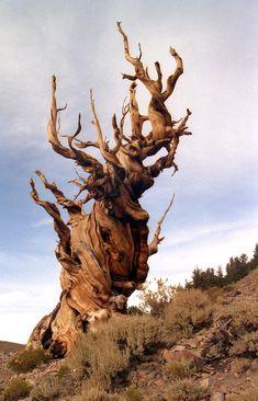 Mathusalem est un arbre de la famillle des pins Bristlecone qui doit ce surnom au fait qu'il était, jusqu'à la découverte d'autres arbres encore plus vieux, l'organisme végétal le plus vieux au monde. Il est situé dans le parc national d'Inyo, en Californie.