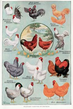Chicken poster of breeds - vintage