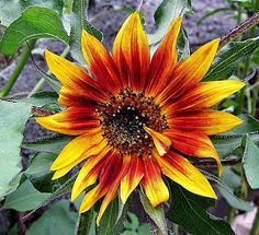This Autumn Beauty Sunflower has one petal bent in as if wiping away a tear....
