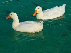 Pato, Blanco, Patos, Animales