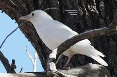 Image result for white crows