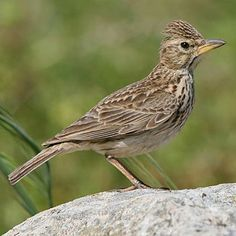 Large-billed Lark (Galerida magnirostris) (Stephens, 1826) - Dikbeklewerik [Afrikaans] - near-endemic to south Africa, occurring from the Northern, Western and Eastern Cape, the Free State and KwaZulu-Natal. In the Western Cape it is most common in succulent Karoo and cultivated land, also occupying coastal fynbos, high altitude grassland and shrub-lined rivers and streams. Not threatened, in fact it has benefited greatly from the introduction of agriculture in the Western Cape.