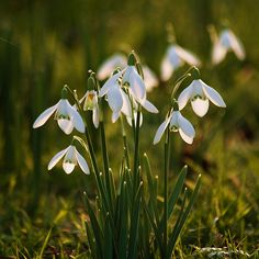Springing into life .. (snowdrops)