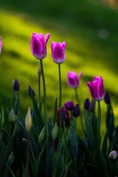 Tulips by Gürkan Gündoğdu on 500px