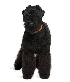 Black Russian Terrier Beautiful Dog Breeds, Beautiful Dogs, Terrier Noir Russe, Terrier Dog Breeds, Terriers, Russian Dogs, Black Russian Terrier, Education Canine, Giant Schnauzer