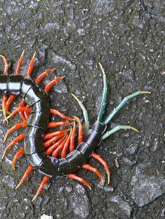 Malaysian Jewel Centipede, Scolopendra subpinipes (Scolopendridae)