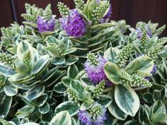 Veronikacserje (Hebe x hybrida) gondozása - olvasó tapasztalatok Succulents, Plants, Succulent Plants, Plant, Planets
