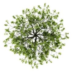 tree top view: top view of willow tree isolated on white background Stock Photo tree top view: top v Landscape Architecture, Landscape Design, Garden Design, Plant Png, Autocad, Tree Plan Photoshop, Tree Plan Png, Plan Tree, Tree Psd