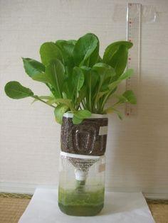 ペットボトル栽培で家庭菜園を楽しもう。おすすめ商品や作り方を紹介 - TRIIPGO Hydroponic Plants, Hydroponics, Potted Plants, Indoor Garden, Home And Garden, Garden Compost, Self Watering Planter, Glass Vase, Planter Pots