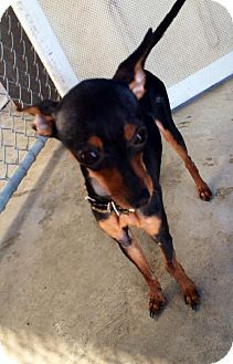 Maumelle, AR - Miniature Pinscher. Meet RiRi - *** / 2014, a dog for adoption. http://www.adoptapet.com/pet/11645812-maumelle-arkansas-miniature-pinscher