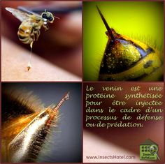 #Venins #insectes #InsectHotel #insecte #nature #biologie #animal #animaux #biodiversité #biodiversity #faune #wildlife www.InsectsHotel.com