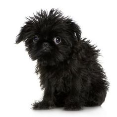 brussels griffon puppy - love, love, love!