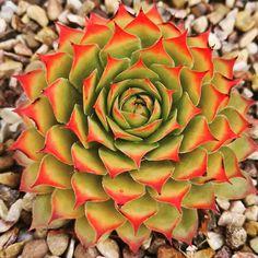 Sempervivum Gold Nuggets Succulents, Plants, Gold, Succulent Plants, Plant, Planets, Yellow