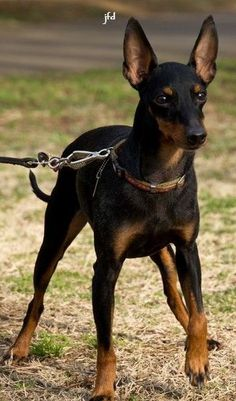 Content filed under the Dog Toys taxonomy. Small Dog Breeds, Cat Breeds, Small Dogs, Small Breed, Toy Manchester Terrier, Black And Tan Terrier, English Toy Terrier, Terrier Dog Breeds, Miniature Pinscher