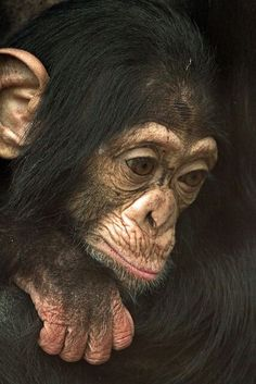 Baby Chimp..we are 98.6 exactly the same (DNA)