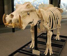 Hippopotamus Skeleton - Osteology Museum - Moore, OK by tossmeanote, via Flickr