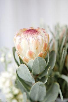 Designs For Garden Flower Beds Lush protea - Protea Grandicolor Protea Art, Protea Bouquet, Protea Flower, Lotus Flowers, Bouquets, Protea Centerpiece, Centerpieces, Australian Native Garden, Gardens