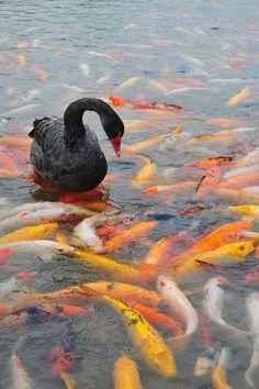 Cisne negro com carpas.