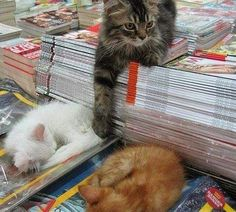 PetsLady's Pick: Cute Bookstore Cats Of The Day  ... see more at PetsLady.com ... The FUN site for Animal Lovers