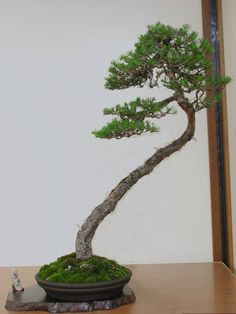 Slender, Leaning Larch: in a lush mound of moss, the off Center planting creates a scene. Set on jita; w/ small man's figure the tree seems to loom larger