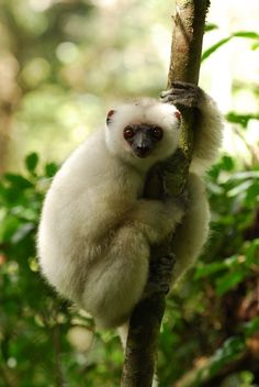 The Silky-Sifaka (Propithecus candidus), found only in Madagascar, has been five-times on The World's 25-Most Endangered Primates List [since its inception in 2000, and published by the International Union for Conservation of Nature Species Survival Commission Primate Specialist Group, the International Primatological Society, and Conservation International]. Between 100 and 1,000 individuals are left in the wild