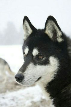Black Siberian Husky