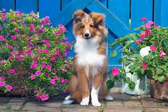 The Shetland sheepdog, or Sheltie, is basically a miniature collie. These long-haired dogs are loyal and devoted. They can be shy with strangers and are easy to obedience train.